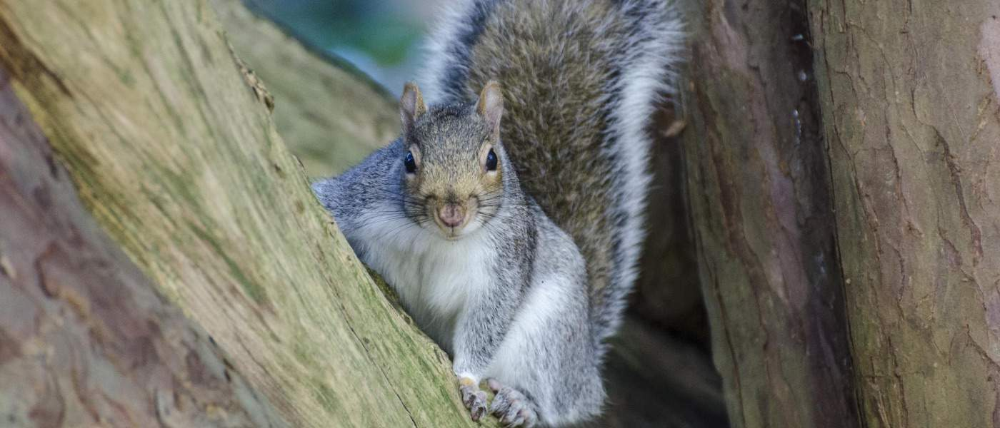long-island-squirrel-removal