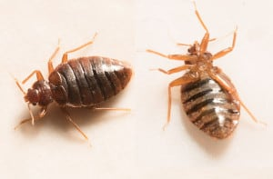 56665644 - close up view of two bed bugs
